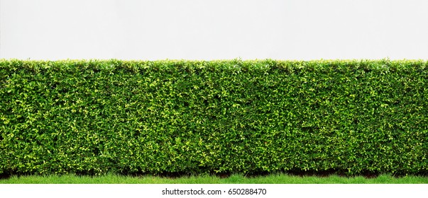 Decorative of banyan tree Korea on white background, Panorama view of green leaf.