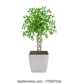 Decorative Bay Laurel tree planted ceramic pot isolated on white background. 3D Rendering, Illustration.