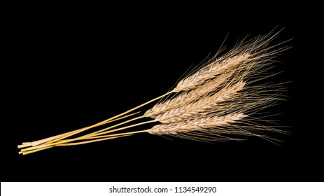 Decorative bouquet of dry rye ears. Secale cereale. Beautiful close-up of the group of golden ripened cereal spikes. Idea of farming, agronomy, foods or fodders. Isolated on black background.
