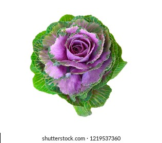 Decorative brassica flower isolated on a white background