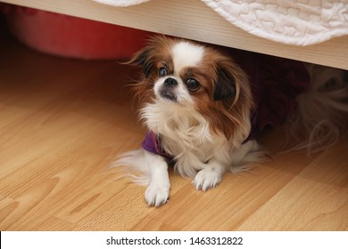 Decorative breed of dogs. Small domestic dog. The dog under the bed hides.Japanese hin dog