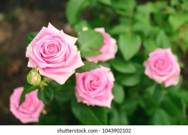Decorative Bush Of A Pink Rose. Blurred Background, Beautiful Bokeh