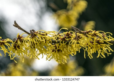decorative bush with yellow flowers witch hazel