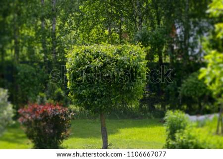 Decorative Clipped Tree In The Garden. Garden Art/ Design/ Landscape.  Topiary.