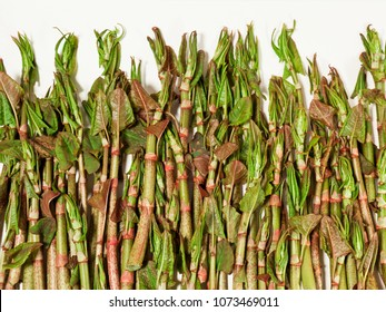 A decorative collection of foraged Japanese Knotweed stalks against a white background.