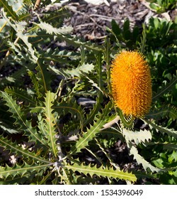 Decorative common orange  banksia species proteacea  genus growing in Bunbury   Western Australia  with its decorative cone  in early spring attracts native birds and bees to its pollen.