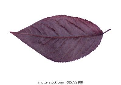 Purple Leaf Plum Tree Images Stock Photos Vectors Shutterstock