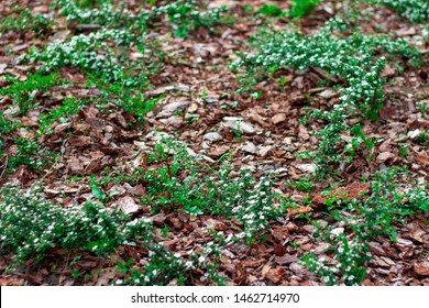 Decorative decoration flower beds natural pine bark. Ideas for flowerbed design. Flowerbed Mulching with natural brown pine bark mulch. The use of natural materials in the design.