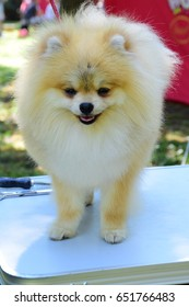 Decorative dog breed pom pom