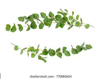 Decorative eucalyptus green leaves isolated on white.