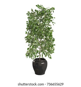 Decorative Ficus Benjamina tree isolated on white background. 3D Rendering, Illustration.