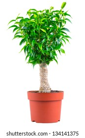 Decorative ficus bonsai, wrapped in burlap with svol in a terracotta pot, isolated on a white background.