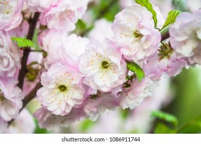 Flowering almond bush images stock photos vectors shutterstock decorative flowering almond or flowering plum prunus triloba in bloom rose tree of mightylinksfo Images