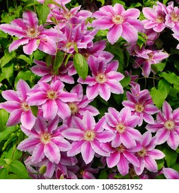 DECORATIVE FLOWERS OF THE CLEMATIS IN THE SPRING GARDEN IN THE VILLAGE.