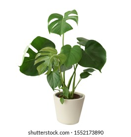 Decorative fresh Monstera deliciosa tree planted in a white ceramic pot isolated on white background. Fresh Swiss Cheese Plant with large glossy green leaves.  - Shutterstock ID 1552173890