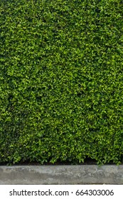 Decorative garden on a cement floor, Green leaves wall texture, Natural wall background or design or architect, part of home or fence