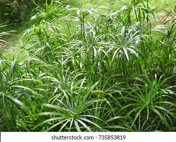 Decorative Garden palm leafs, Ornamental Green leaves