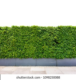 Decorative green garden on a cement floor, Green leaves wall texture background , part of home or fence for decoration or design with Clipping Path.