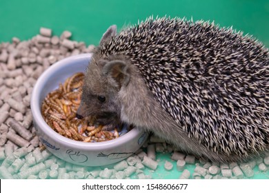 Decorative hedgehog eats dry food from bowl. Dwarf hedgehog at home . Nutrition and breeding hedgehogs at home.
