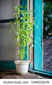 Decorative house green plant in white pot on windowsill
