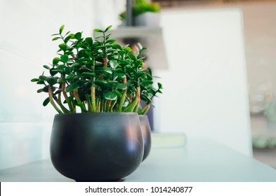 Decorative houseplant Crassula.