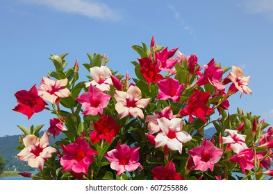 decorative mandevilla creeper plant with blossoms in shades of red