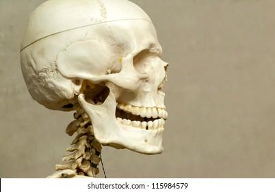 Decorative (model) human skeleton and skull in hospital