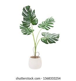 Decorative monstera tree planted white ceramic pot isolated on white background.