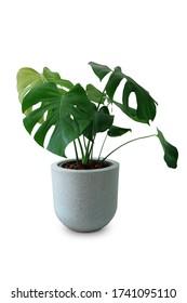 Decorative monstera tree planted white ceramic pot isolated on white background.