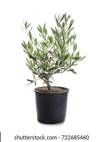 Decorative olive tree on white background