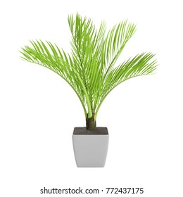 Decorative Palm tree planted white ceramic pot isolated on white background. 3D Rendering, Illustration.