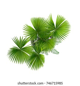 Decorative Palm tree top view isolated on white background. 3D Rendering, Illustration.