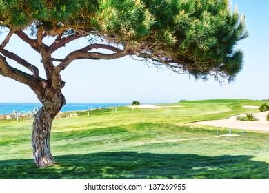Decorative pine tree on a golf course near the sea.