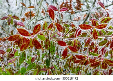 Decorative plant frozen in freezing rain ice in winter storm. Features rich red and green colors.