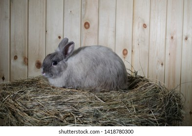 The decorative rabbit. Little grey rabbit is very fluffy. It is sitting on the hay and behind him is a wooden background.