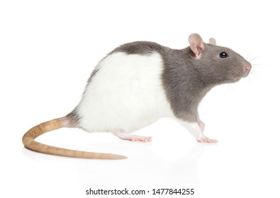 Decorative rat on white background, side view