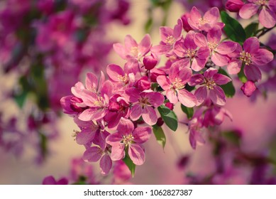 Decorative red apple tree flowers blossoming at spring time, floral natural background