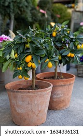 Decorative small fruit-bearing trees of kumquat or Citrus japonica plant from the Rutaceae family at the greek garden shop in February. Vertical. Daylight.