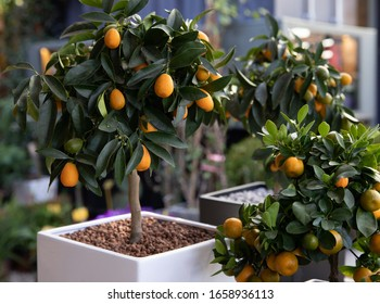 Decorative small fruit-bearing trees of kumquat or Citrus japonica plant from the Rutaceae family at the greek garden shop in February.