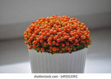 Decorative solanum home plant with bright orange poisonous berries in a white pot