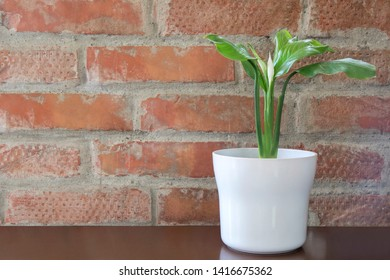 Decorative Spathiphyllum in home environment