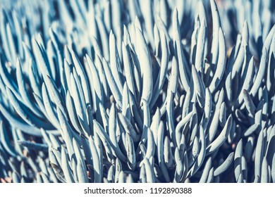 Decorative succulent plant Senecio serpens also known as blue chalksticks