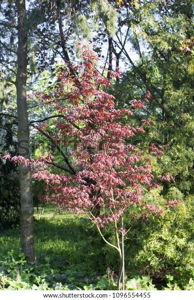 Decorative Tree Burgundy Leaves Spring Against Stock Photo Edit