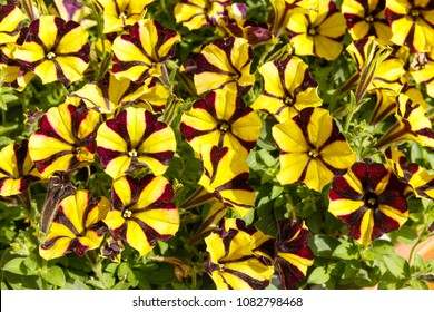 decorative two-color petunia