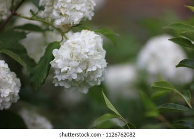 decorative viburnum in bloom