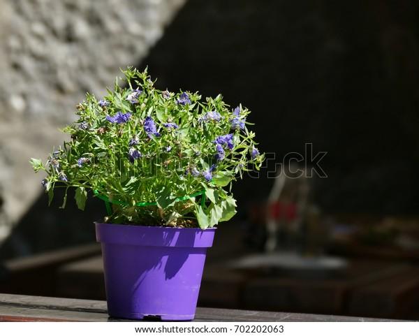 Decorative violet