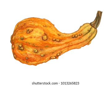 Decorative watercolor orange pumpkin or cucurbita. Crookneck squash isolated on white background. Autumn decor element