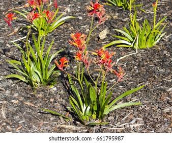 Decorative West Australian wildflower red  Kangaroo Paw anigozanthus hybrid  blooming in full splendour in  Bunbury, Western Australia in spring  is a splendid tourist attraction.