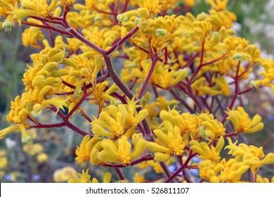 Decorative West Australian wildflower yellow  Kangaroo Paw anigozanthus  Bush Gem hybrid blooming in full splendour in  King's Park Perth Western Australia in spring  is a splendid tourist attraction.