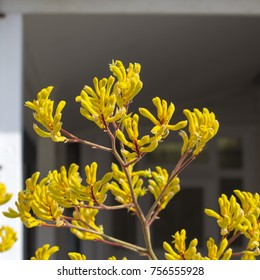 Decorative West Australian wildflower yellow  Kangaroo Paw anigozanthus  Bush Gem hybrid blooming in full splendour  in Bunbury Western Australia in spring  is a splendid tourist attraction.